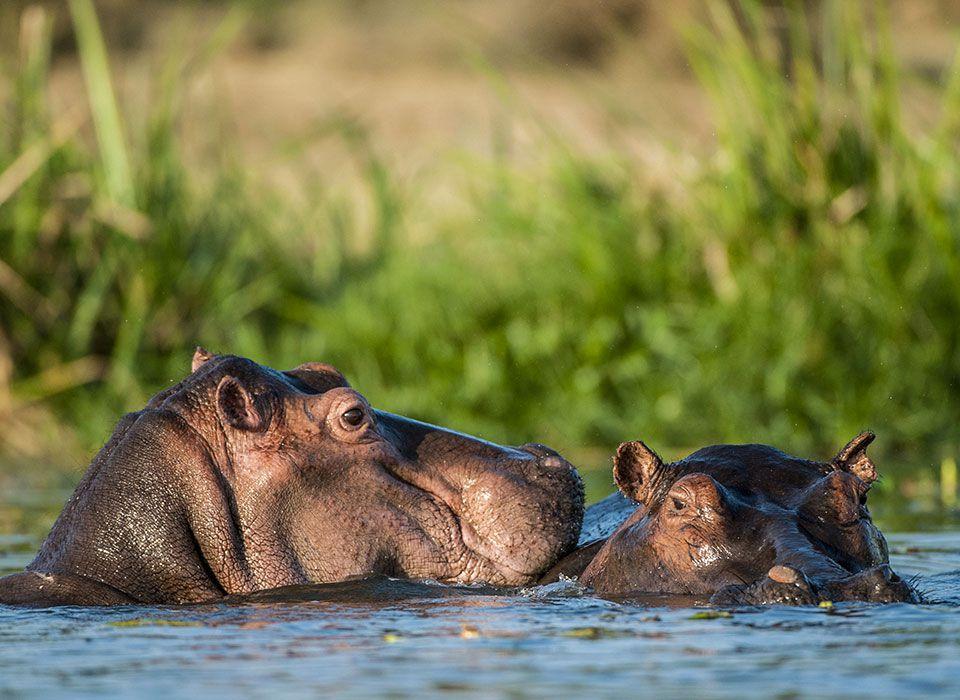 botswana-okawango-delta-moremi-wildlife-reserve-nilpferde