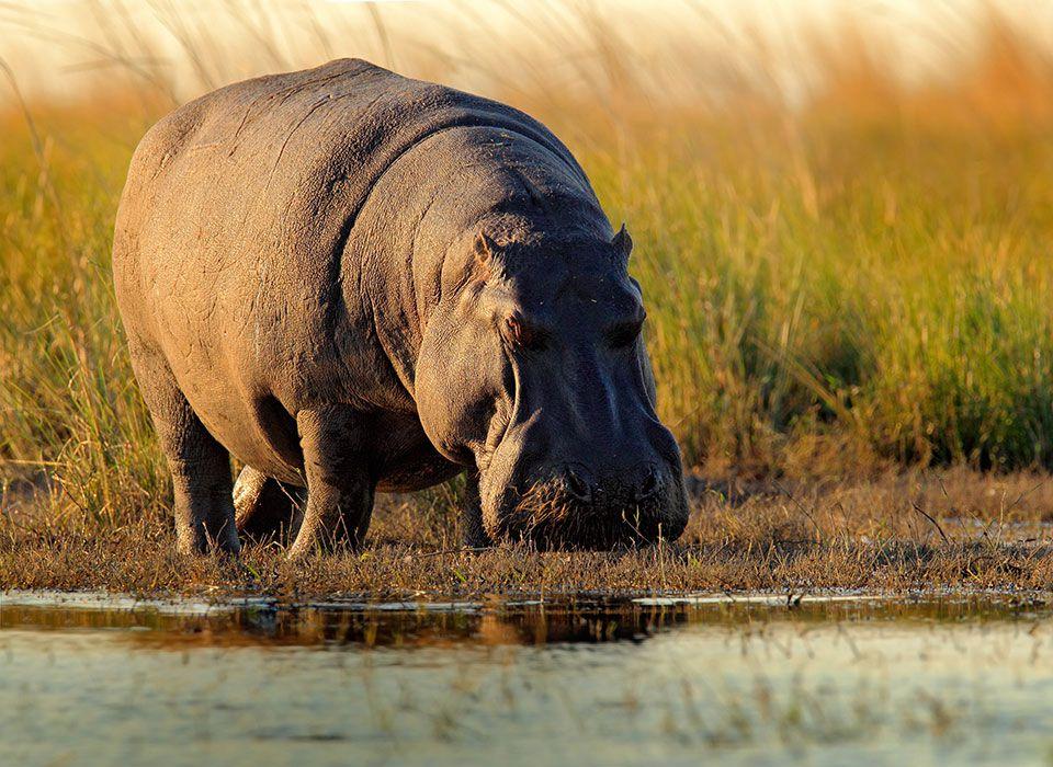botswana-okawango-delta-nilpferd