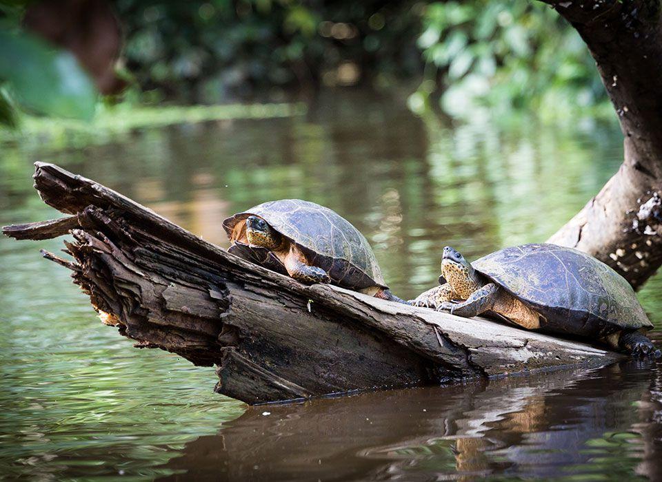 costa-rica-tortuguero-nationalpark-schildkroeten
