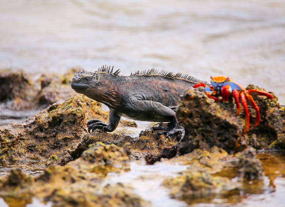 ecuador-galapagos-inseln-leguan-und-rote-klippenkrabbe