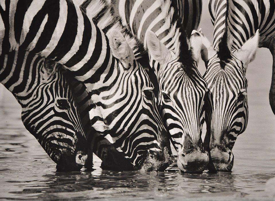 namibia-etosha-nationalpark-zebras-wasserloch