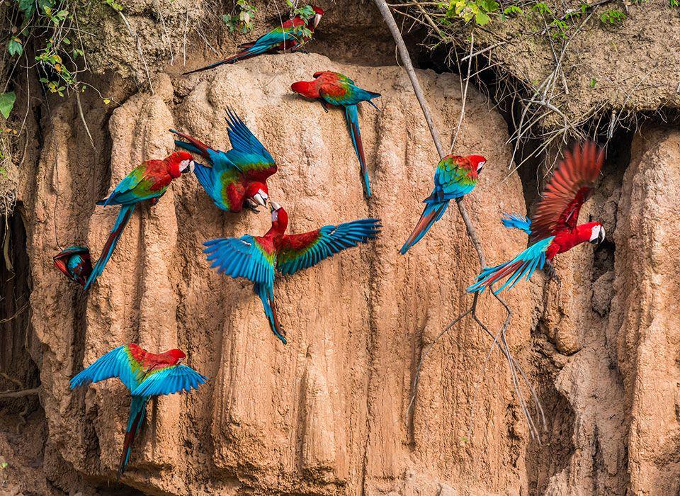 peru-iquitos-amazonas-papageien