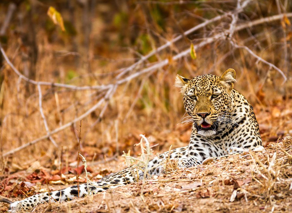 sambia-south-luangwa-nationalpark-leopard