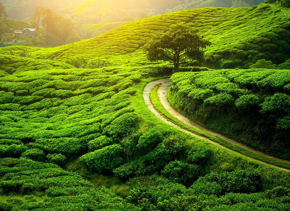 sri-lanka-hochland-teeplantage