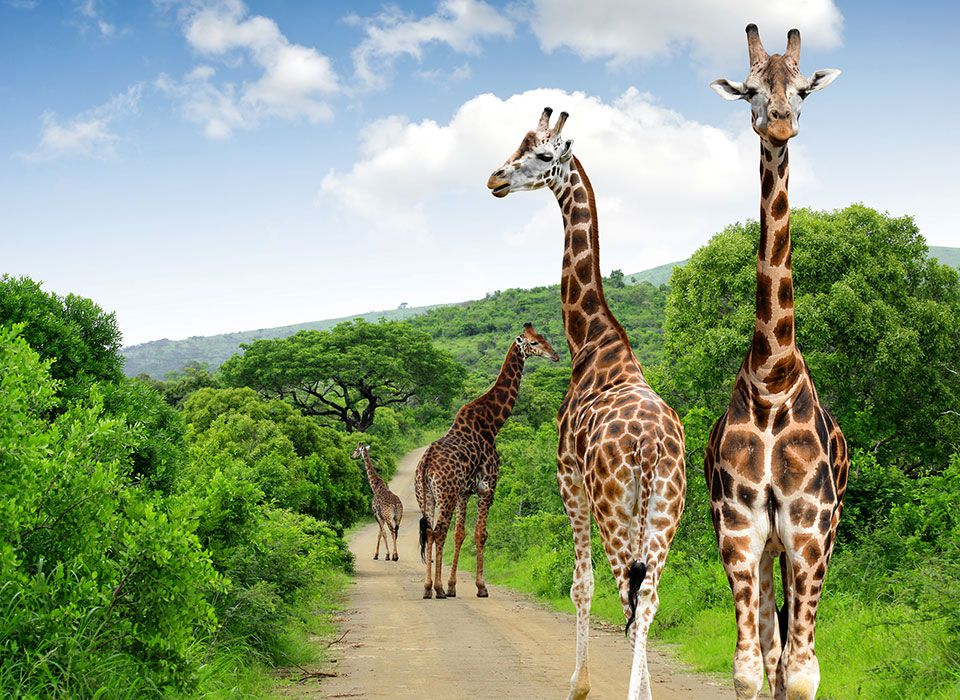 suedafrika-krueger-nationalpark-giraffen