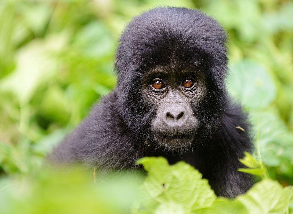 uganda-bwindi-impenetrable-forest-junger-gorilla-1