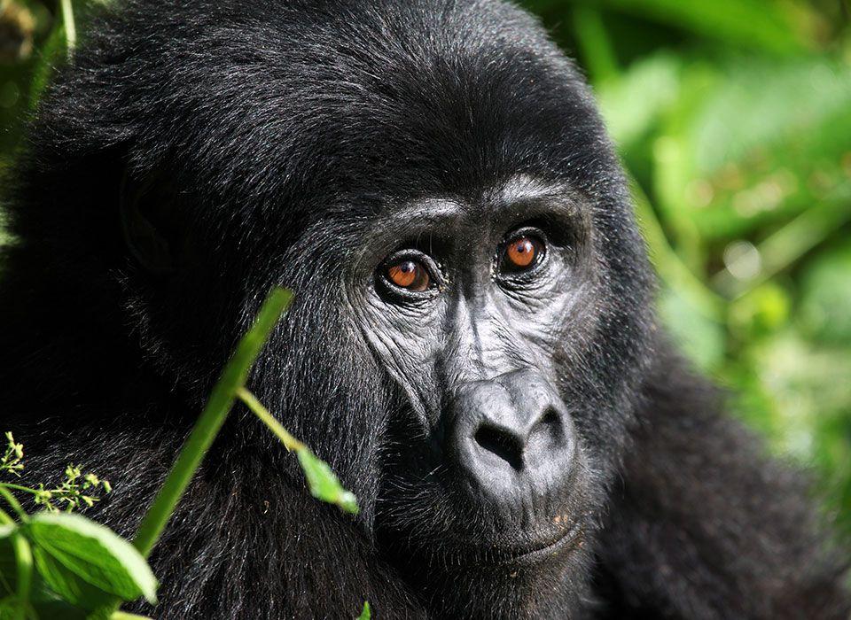 uganda-bwindi-impenetrable-forest-junger-gorilla