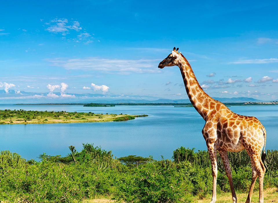 uganda-lake-mburo-nationalpark-giraffe