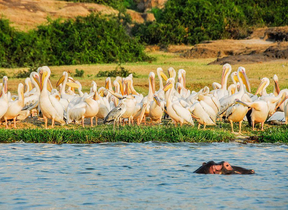 uganda-queen-elizabeth-nationalpark-pelikane-nilpferd