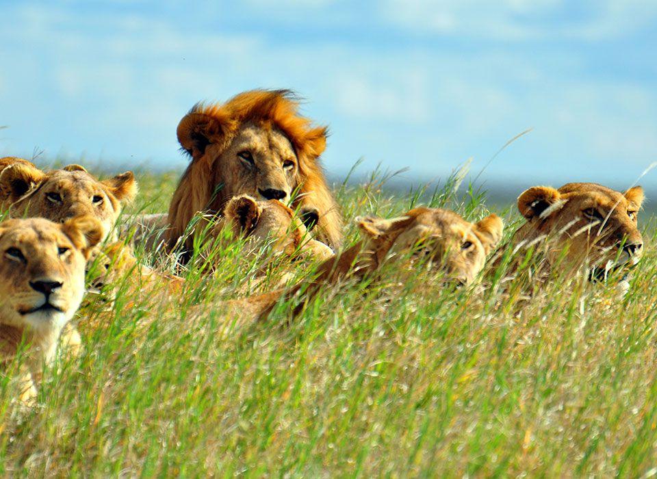 kenia-safari-masai-mara-loewen