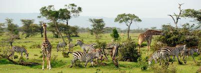 kenia-safari-masai-mara-zebras-giraffen-small
