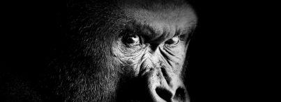 uganda-gorilla-small